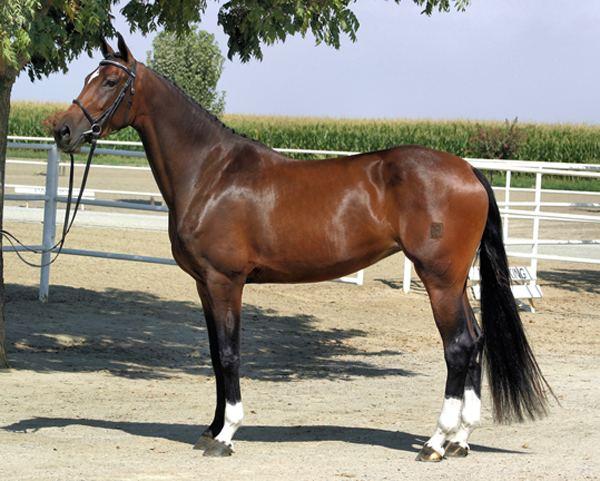 caballo warmblood holandes
