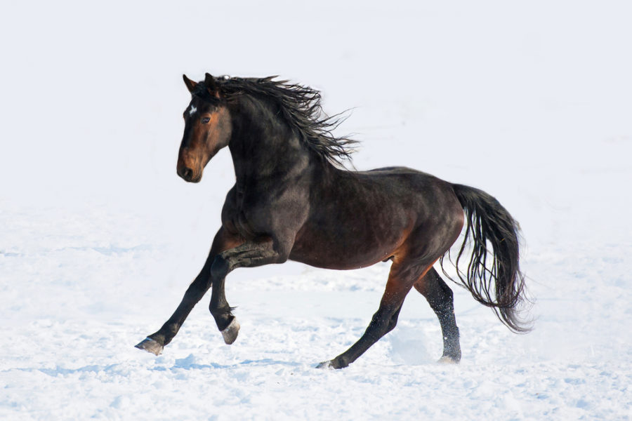 caballo negro en la nieve