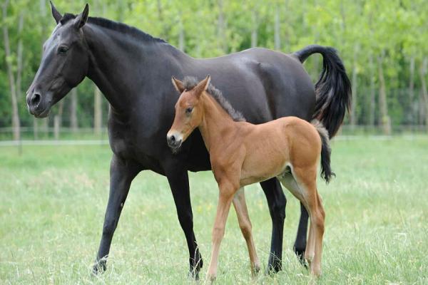 Cuántas crías pueden tener los caballos