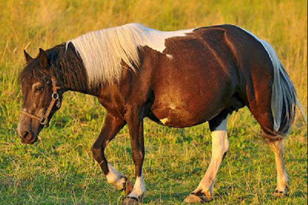 ¿Cómo saber si una yegua está preñada?