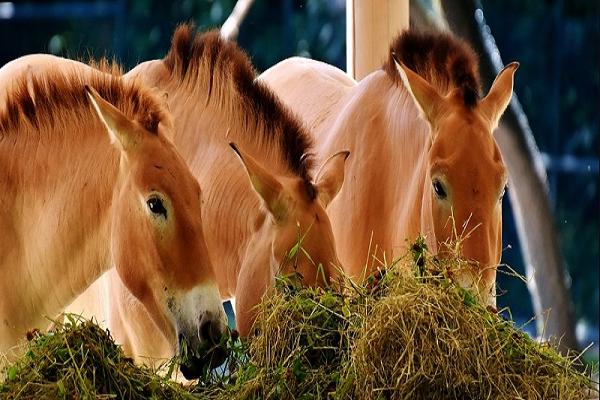 Consejos para engordar un caballo