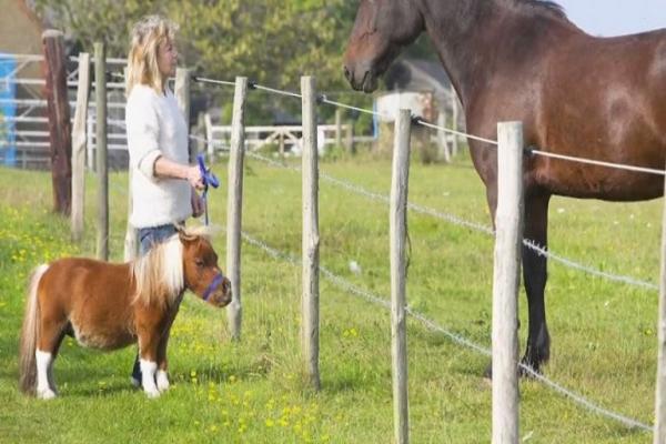 razas de caballos enanos