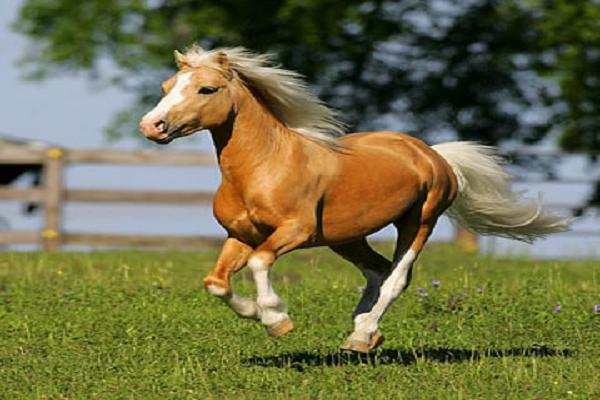 Ponis galeses precio