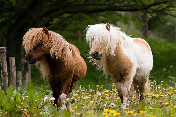 Ponis galeses