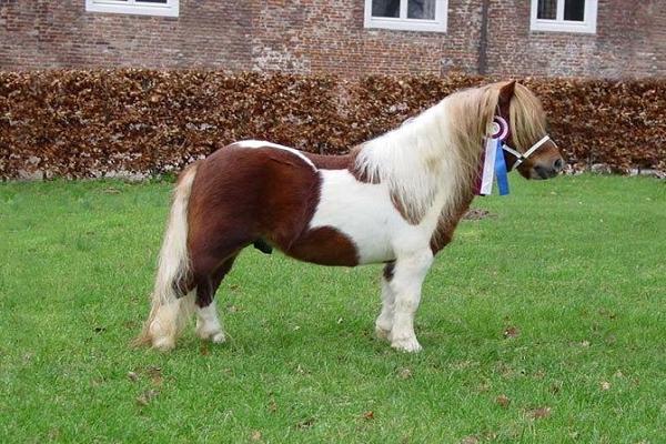 Origen del poni galeses