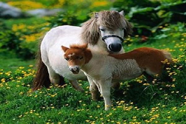 Características físicas ponis galeses